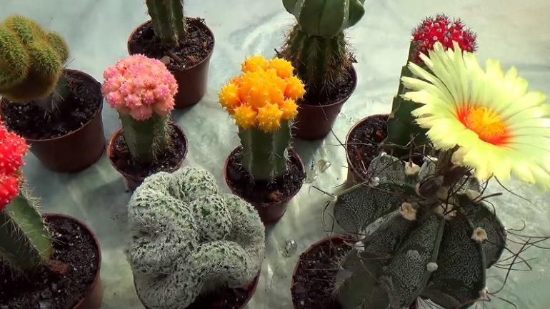 Pichľavé kaktusy: Chcete, aby vám zakvitli? Zaštepte ich