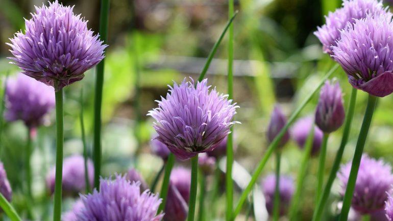 6 liečivých byliniek, ktoré chránia vašu zeleninu v záhrade