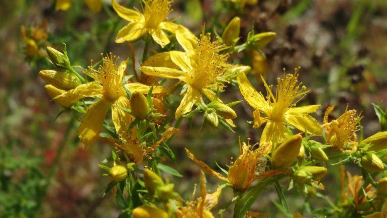 Zbierame liečivé rastliny: Čarovná bylina ľubovník bodkovaný