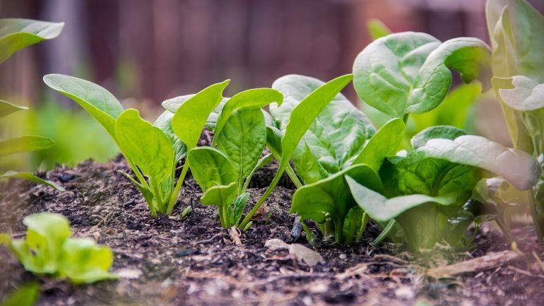 Prečo špenát nesmie chýbať vo vašej záhrade?
