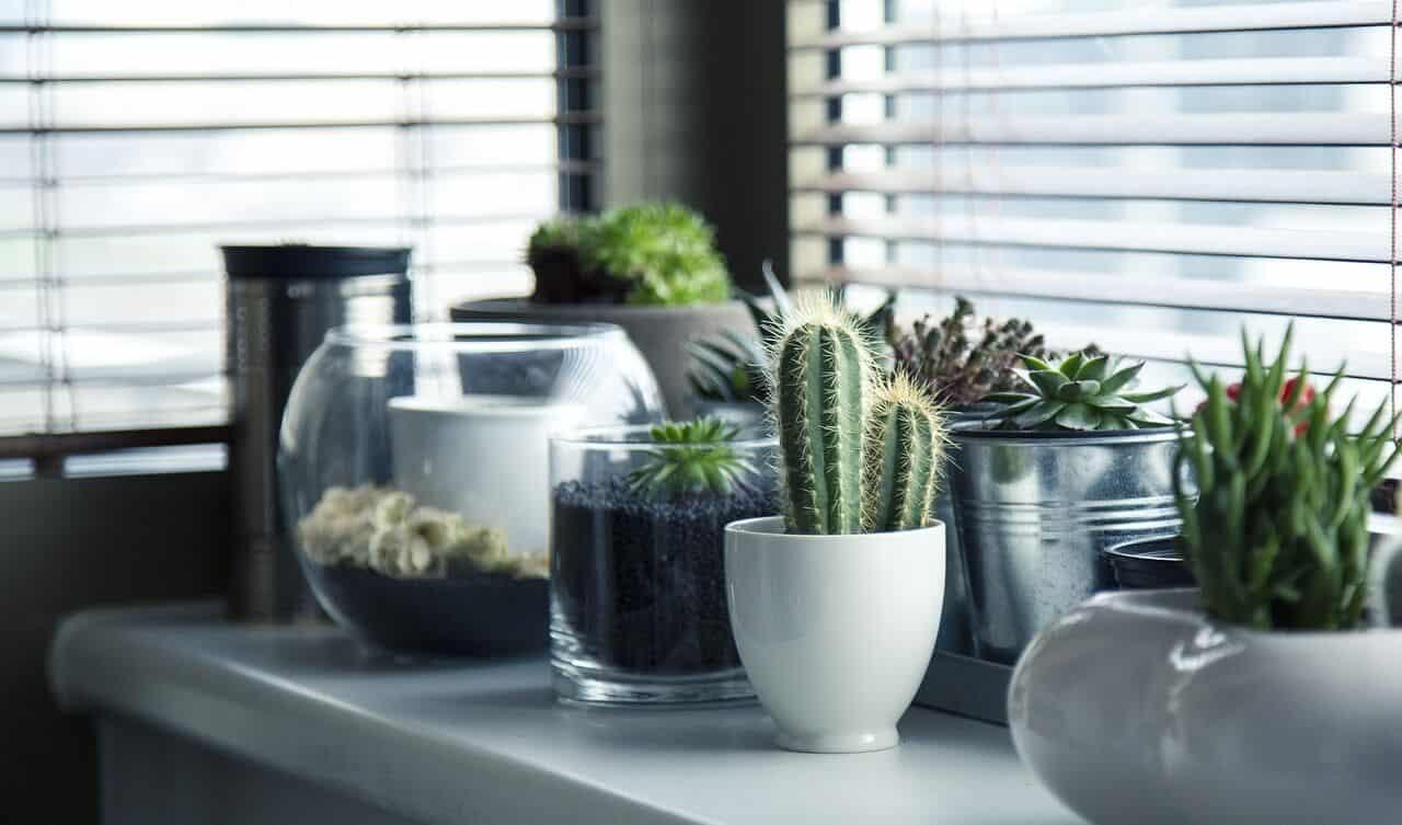 Kaktus patri do izbových rastlín