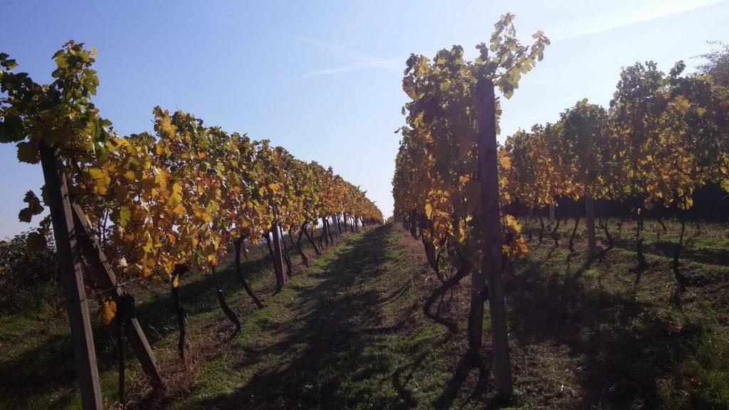 vinice (1)