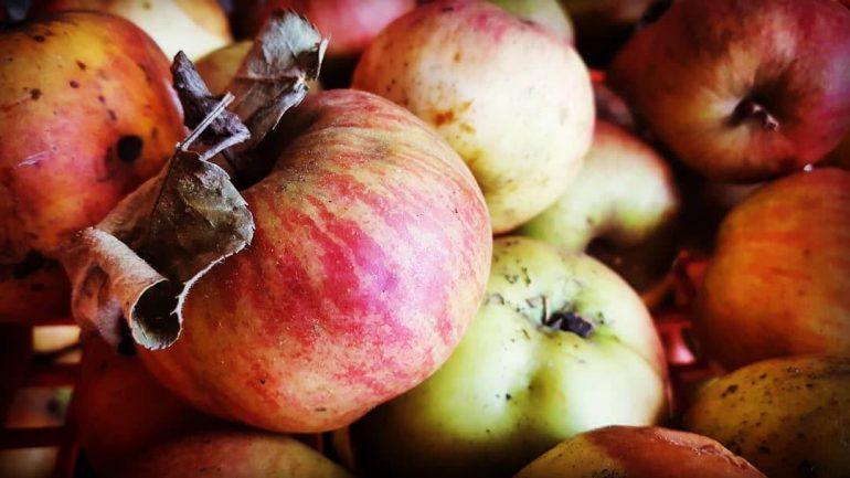 Moniliniová hniloba napáda jablká