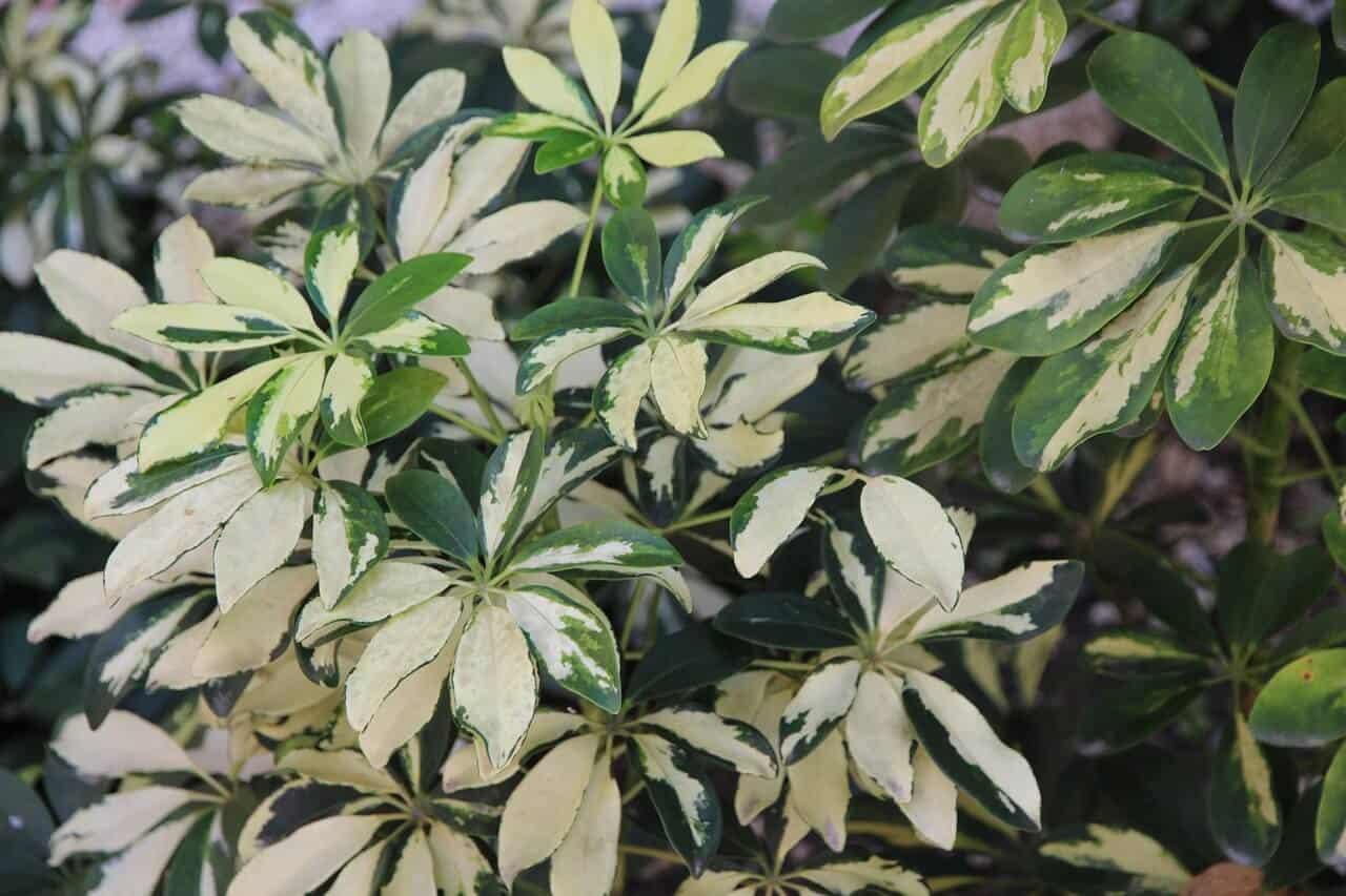 Šeflera stromovitá je rastlina
