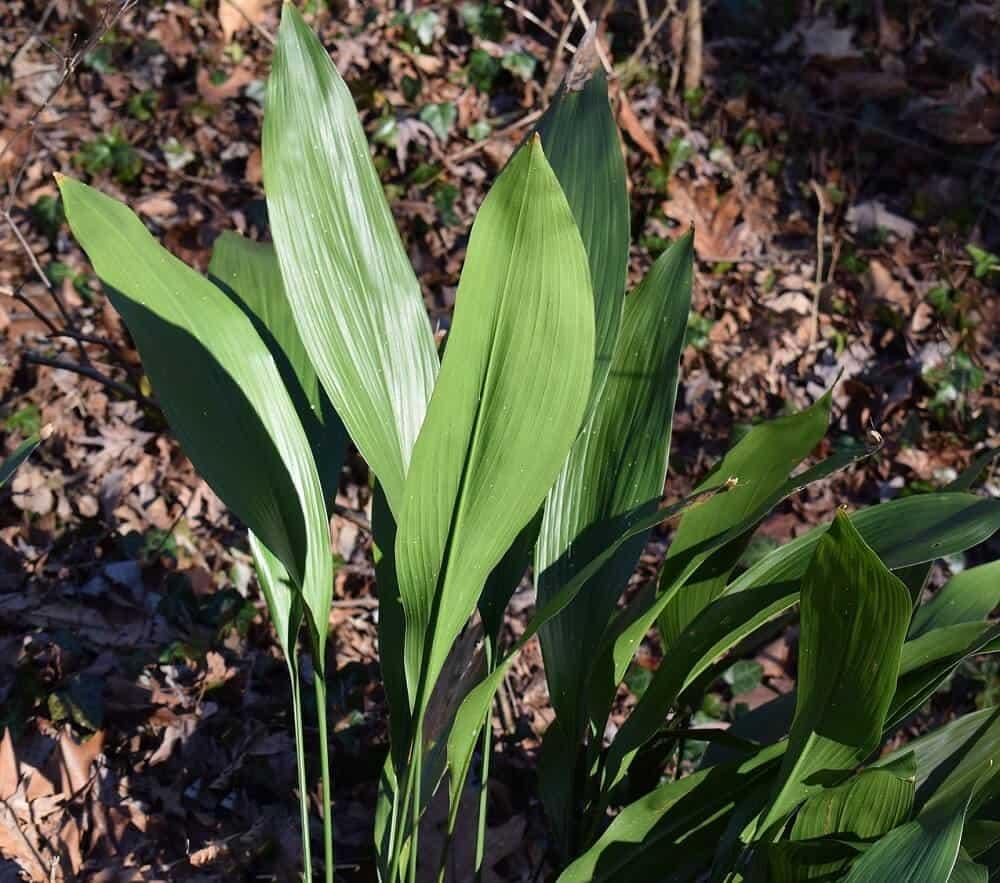 Aspidistra je rastlina z izbových rastlín