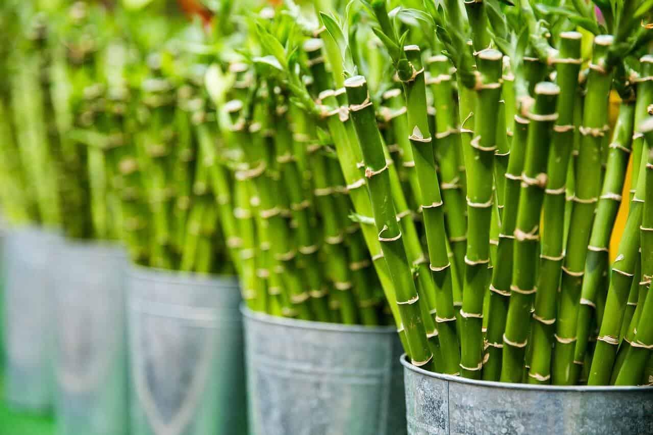 bambus šťastia