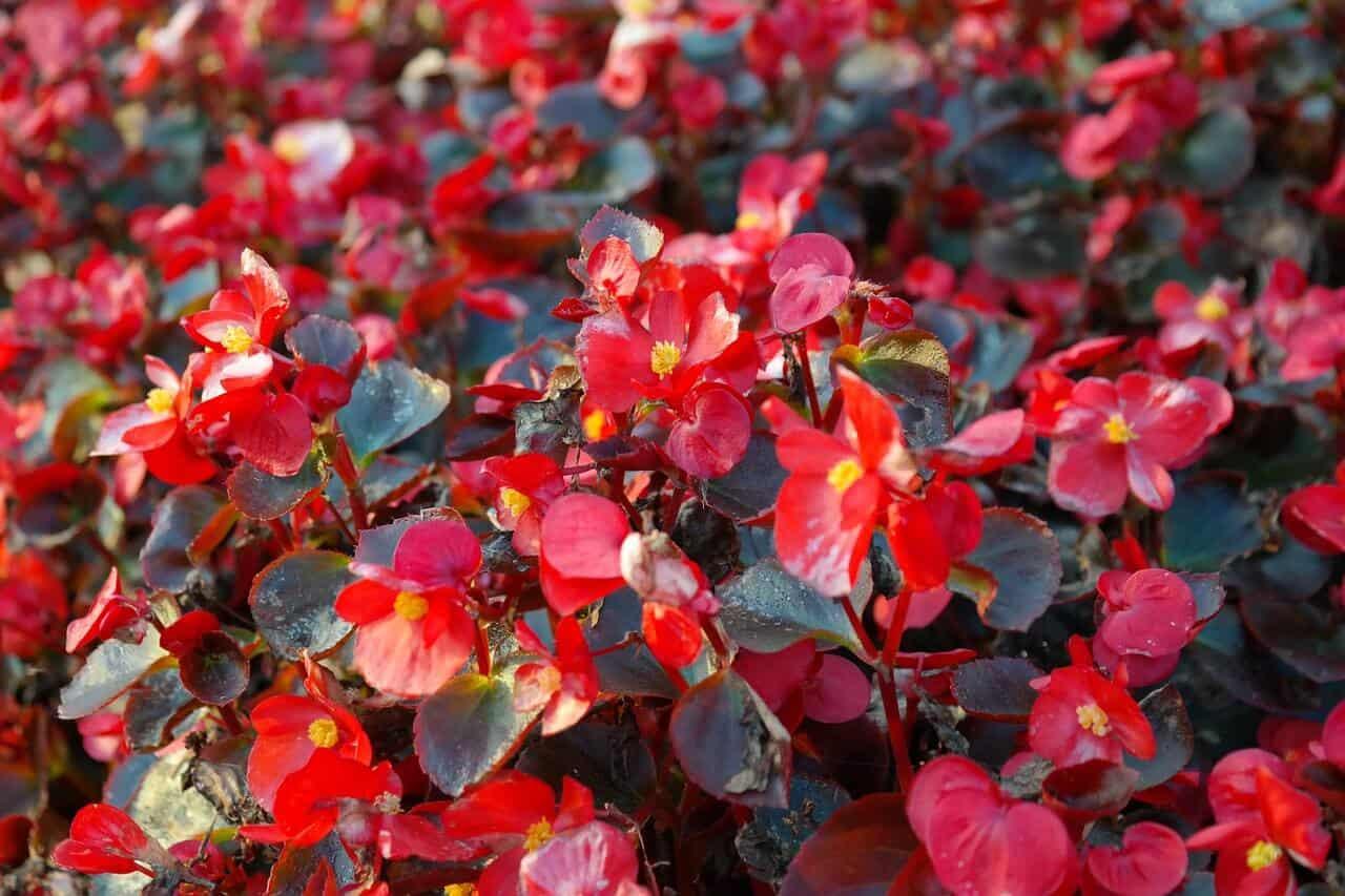 begónia je rastlina v kategorii izbových rastlín