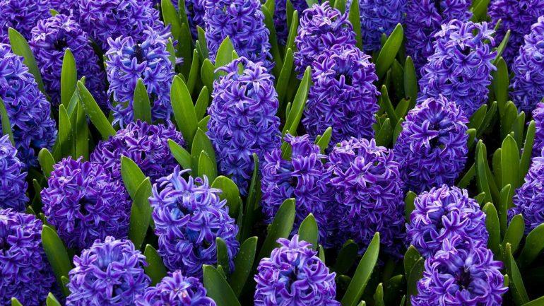 Ako dopestovať hyacint