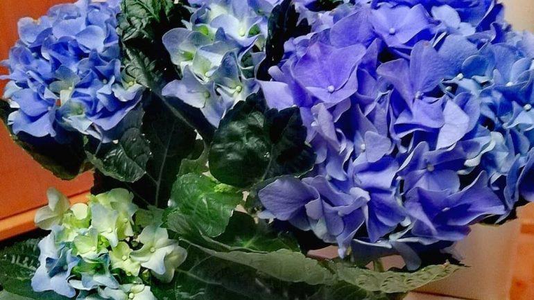 ako pestovať hortenzie