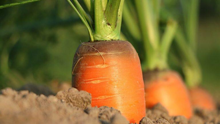 mulčovanie koreňovej zeleniny