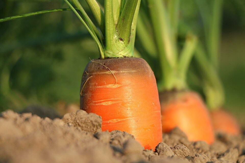 mrkva a jej pestovanie