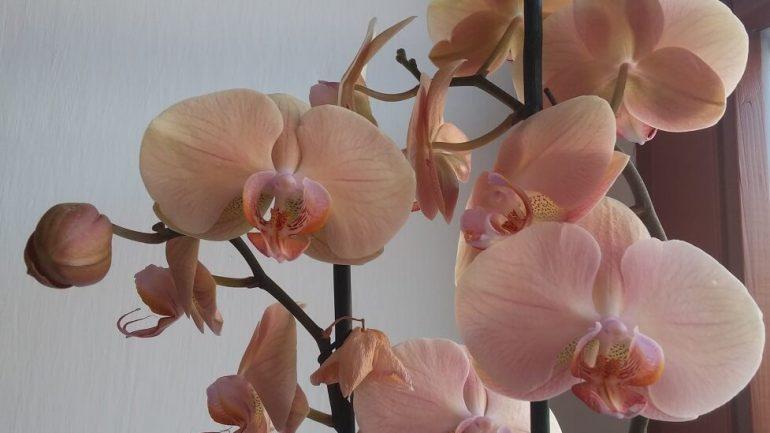 Čarovná orchidea: Krok za krokom, ako ju pestovať