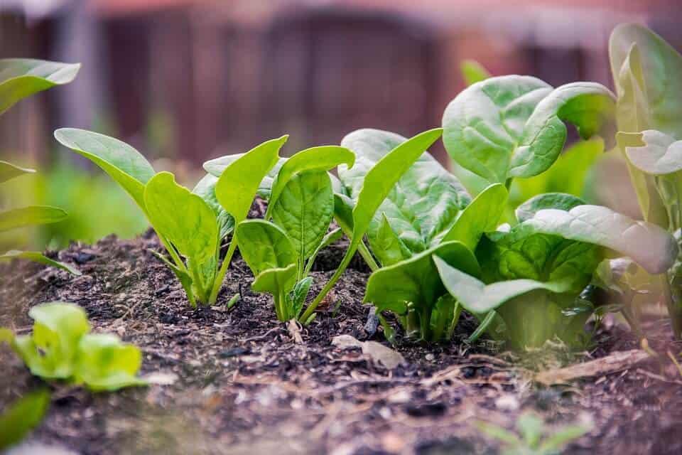zelenina a jej pestovanie
