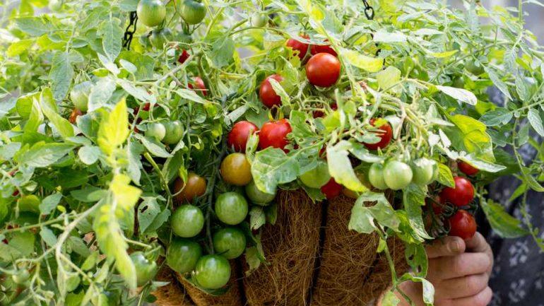 Pestovanie paradajok trochu inak: Aj zavesené v košíku!