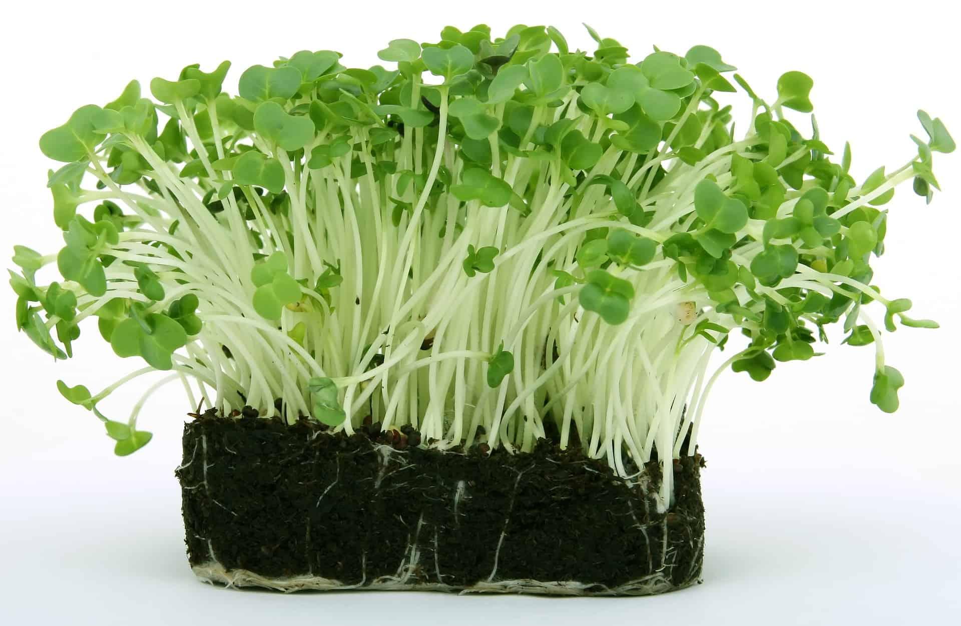 Koren - záhradkárske tipy
