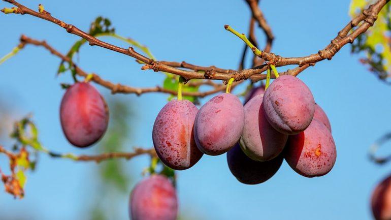 Ako na očkovanie ovocných drevín