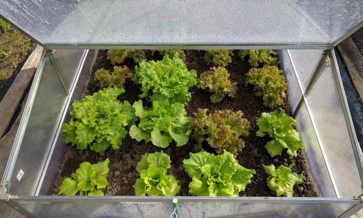 Ako sadiť a pestovať šalát? Tieto triky sú overené