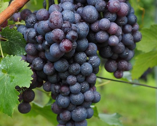wine-berries-694184_960_720