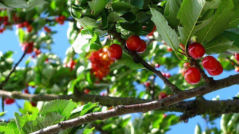 Ako na správne hnojenie ovocných stromov?