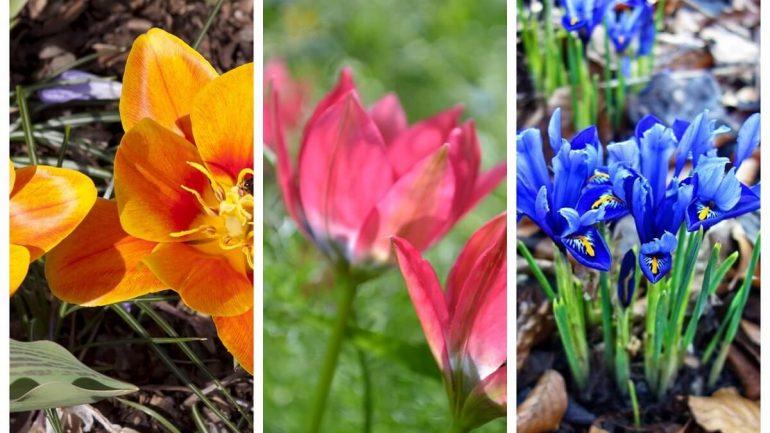 Spoznajte päť druhov netradičných tulipánov