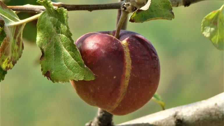 poškodené plody odstráňte čo najskôr
