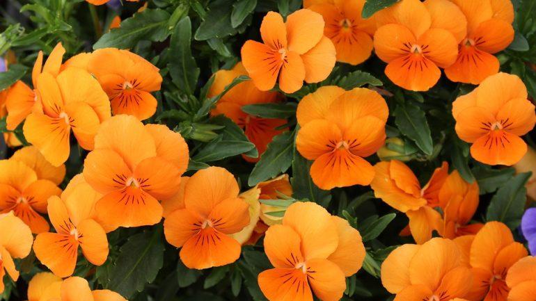 Najlepšie rastliny do závesných košíkov (1)