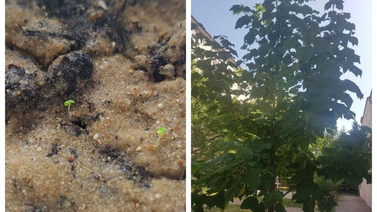 Najrýchlejšie rastúci strom na svete: Vypestujte si ho