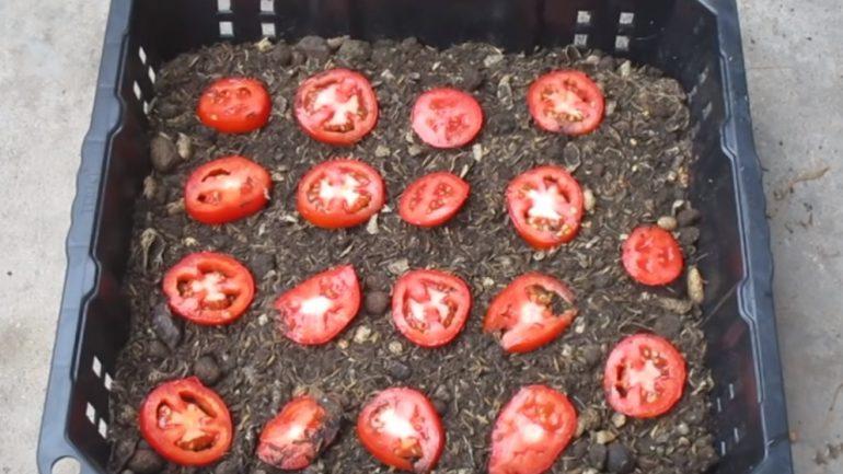 Ako vypestovať vlastné paradajky v kvetináči