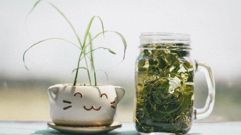 Ako pestovať čajovník