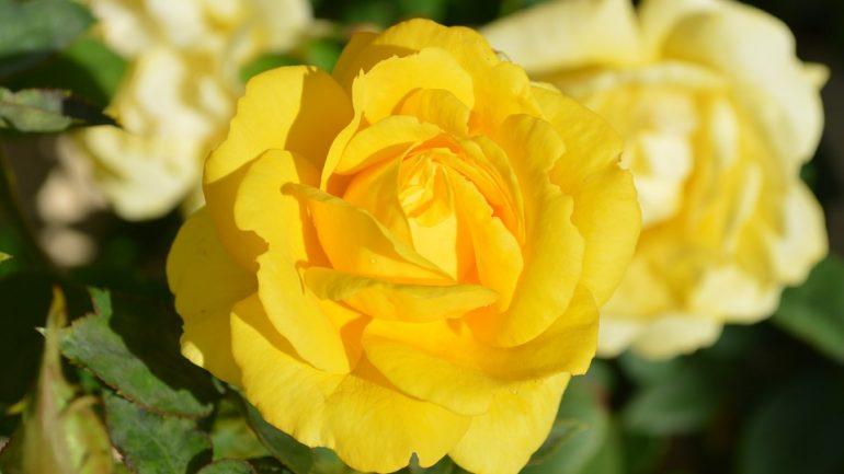 10 fascinujúcich vecí, ktoré ste nevedeli o ružiach