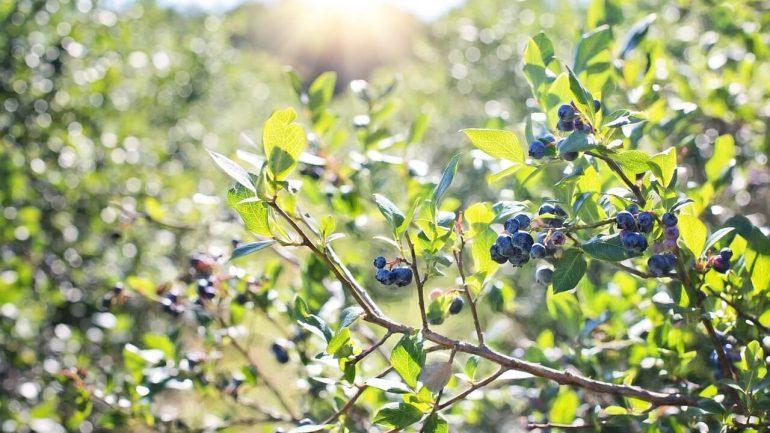 Rez a výsadba čučoriedok: Všetko, čo treba vedieť