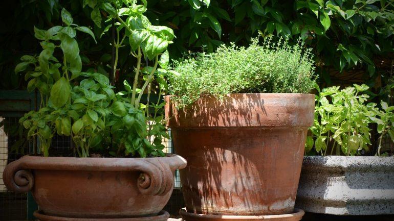 Ako pestovať tymián, ktorý nesmie chýbať vo vašej bylinkovej záhrade