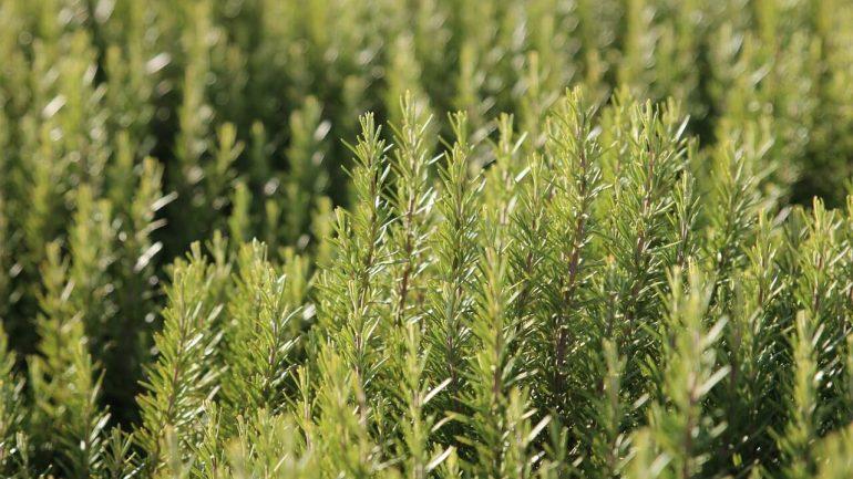 ako pestovať rozmarín