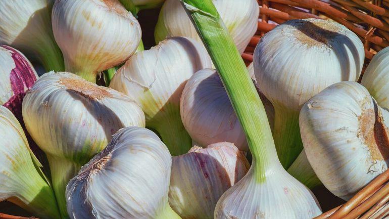 zber cesnaku