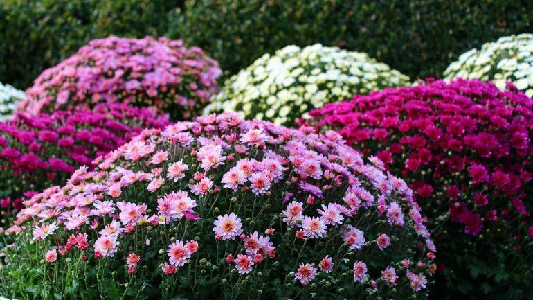 Krásna chryzantéma: Spoznajte zásady jej pestovania