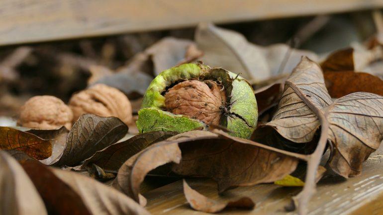 Zber orechov: Ako ich správne sušiť a skladovať?
