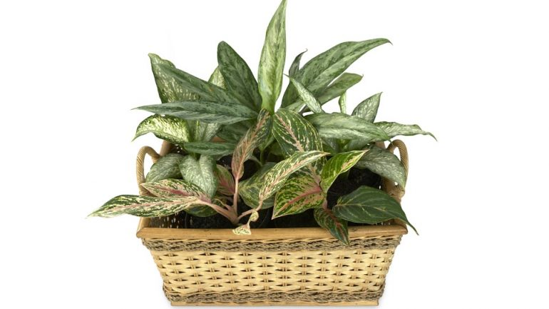 izbové rastliny sú nebezpečné