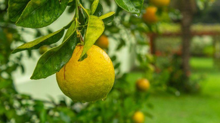citrusy v zime