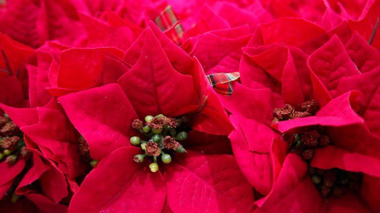 5 vianočných interiérových rastlín