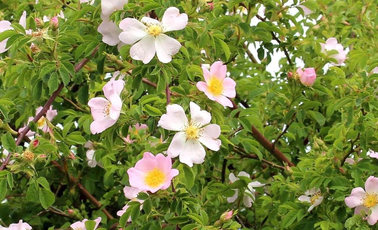divoká ruža