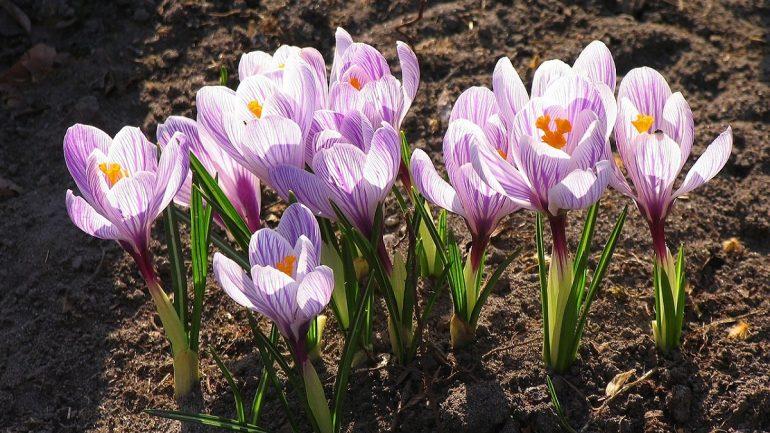 Šafrán jarný a jeho rýchlenie: Bude kvitnúť už teraz