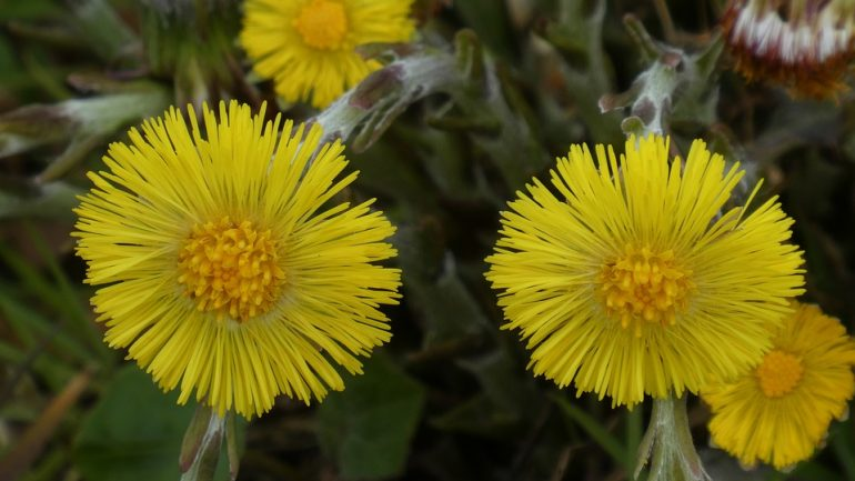 podbeľ kvety