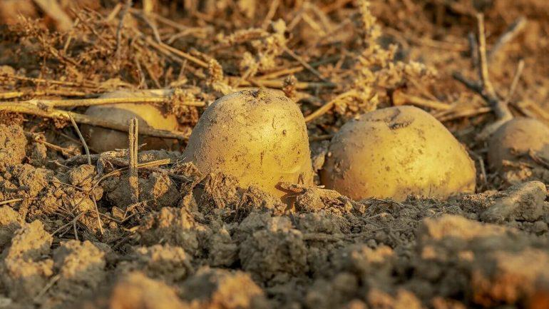 ako pestovať zemiaky na slame