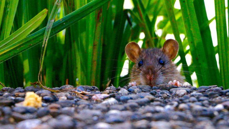 ako sa zbaviť potkanov, potkany