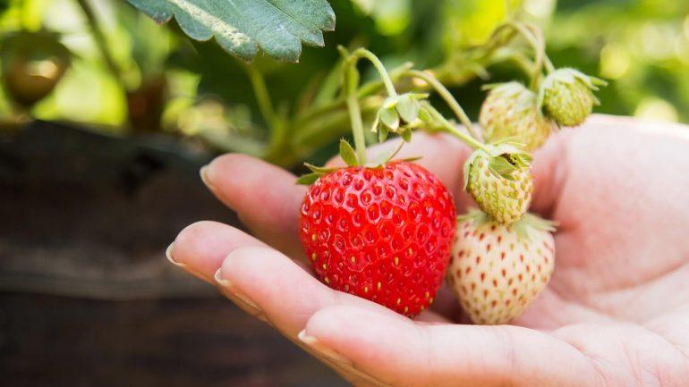 Hľadáte sladké a výživné osvieženie? Pripravte si domáci jahodový mušt