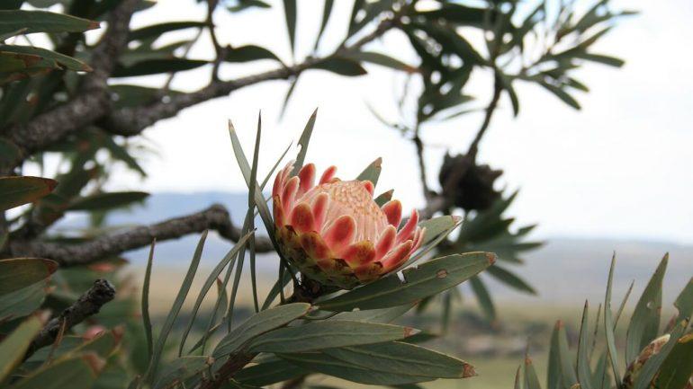 Protea kráľovská - exotická kvetina