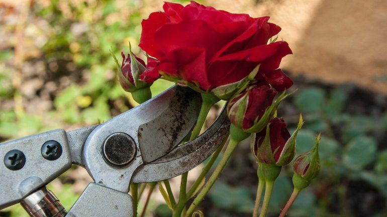 Rez ruží, praktické rady, ako na to