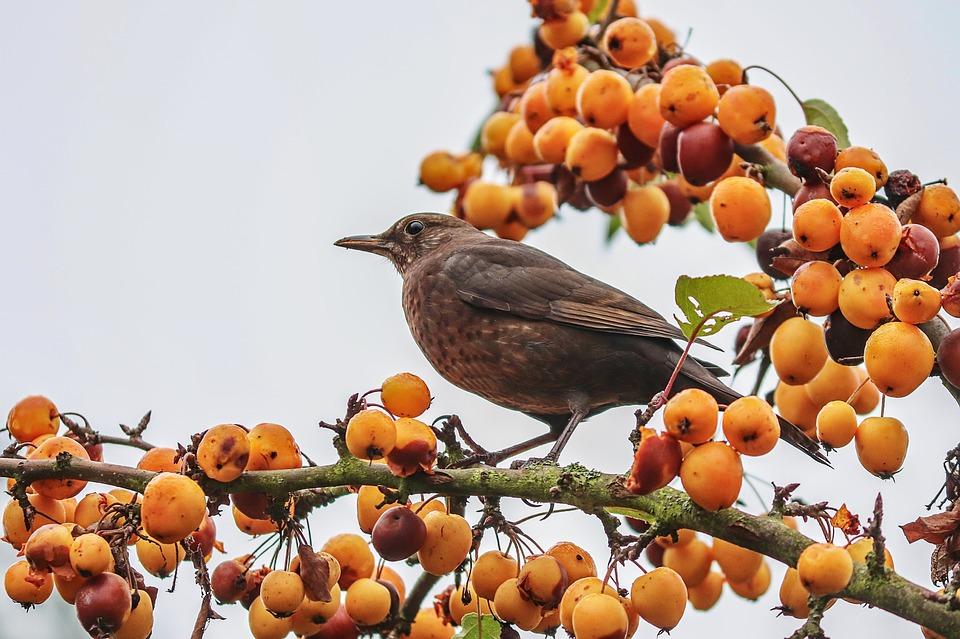 ochrana ovocia pred vtákmi