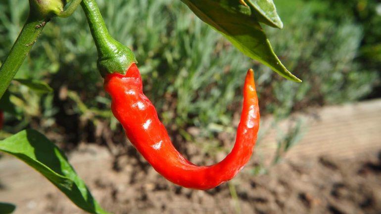 pestovanie čili papričiek
