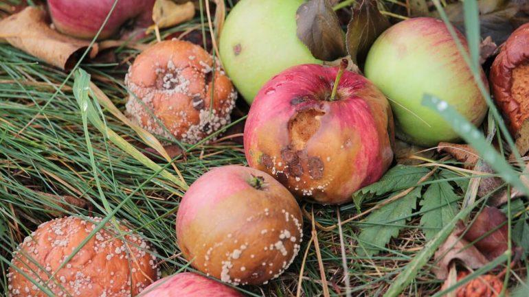 choroby jabĺk
